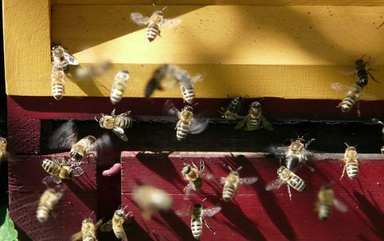 Bee mine, honey: a cautionary tale from Shap