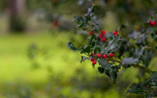 Holly, a unique Westmorland tradition